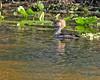 Hooded Merganser (Lophodytes cucullatus) (Mary Keim) Tags: taxonomy:binomial=lophodytescucullatus centralflorida marykeim orlandowetlandspark