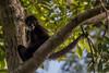 Yucatan spider monkey - Singe-araignée du Yucatan (www.andrebherer.com) Tags: wildlife faune nature fauna monkey spidermonkey singe singearaignée singearaignéeduyucatan yucatanspidermonkey primate guatemala elpeten mayabiospherereserve andrebherer