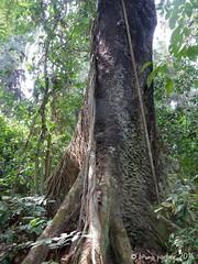 La forêt d'Iboubikro / Iboubikro forest, Réserve de la Lesio-Louna, CONGO - 2016 (brun@x - Africa: birds & more) Tags: 2016 africa african landscape paysage congo brazzaville lesiolouna lacbleu afrique bruno brunoportier nikon iboubikro d7000 arbre canopée canopy tree trunk forest foret tropicale tropical forêt