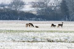 Le ried de HOERDT (regis.muno) Tags: hoerdt alsace france nikond500 nature leried neige givre glace chevreuils animaux