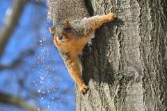 Squirrels in Ann Arbor at the University of Michigan (February 6th, 2018) (cseeman) Tags: gobluesquirrels squirrels annarbor michigan animal campus universityofmichigan umsquirrels02062018 winter eating peanut februaryumsquirrel snow snowy sunny