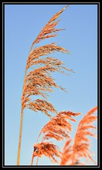 """Reed Bed..."" (NikonShutterBug1) Tags: macro closeup nikond7100 nature spe smartphotoeditor tamron70300mm reedbed wiganflashes bokeh"