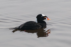 Surf Scoter with Water Droplets (_quintin_) Tags: animal surf scoter