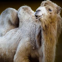 camel! (m_laRs_k) Tags: kamel heidelberg zoo camel olympus omd 14150 animal fauna 7dwf