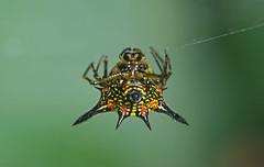 Spiky Spider (mishko2007) Tags: spider chiangmai thailand 105mmf28