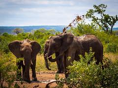 Cold muddy bath on a hot summer day ... (davYd&s4rah) Tags: mud muddy bath elephant elefant water southafrica südafrika kruger family nationalpark olympus m75mm f18 olympusm75mmf18 krugernationalpark krugerpark knp safari gamedrive bigfive tour summer january wildlife mammal mpumalanga