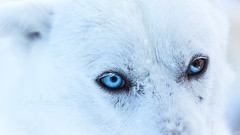 Blue eyes (CecilieSonstebyPhotography) Tags: markiii blue closeup eyes blueeyes husky white canon canon5dmarkiii dog animal coth5 ngc