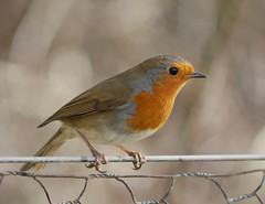 Robin (PhotoLoonie) Tags: robin bird wildbird nature wildlife avian