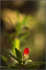 Rhododendron Spinuliferum_Jupiter-9 2-85mm (jpbigaud) Tags: rhododendronspinuliferum jupiter285mm