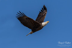 Bald Eagle approach and landing - 7 of 27