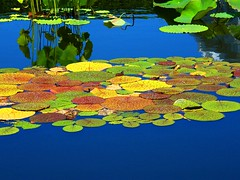 Autumn Waterlily Leaves (Stanley Zimny (Thank You for 30 Million views)) Tags: autumn fall color waterlily bronx botanical garden leaves blue water