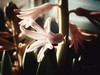 Sensitive (J.C. Moyer) Tags: hyacinth flower flora afternoon sensitive colour color rustic window motorolamotog4plus bokeh
