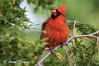 Northern Cardinal (Anne Marie Fraser) Tags: tree bird cardinal northerncardinal pretty red nature wildlife male