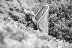 850_2514 (stephho2015) Tags: tea ceylon teaplantation srilanka