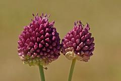 _DSC2717 Kogellook /  Round headed leek bulbs (Gert-Paassen) Tags: bloem ui onion wild flower macro purple paars nikon nikkor 105mm frankrijk quiberon bretagne brittany d750