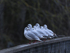 Lookout (tjb7735) Tags: bird gull blackheadedgull uk fishers lee valley lea bridge wildlife seagull focus nikon d750 fx sigma 150600s telephoto winter green
