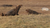 I will if you will (jpotto) Tags: uk lincolnshire donnanook animal seal