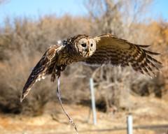 Wicket (droy0521) Tags: wildlife owl flight bird birdsofprey outdoors barredowl winter colorado places animal