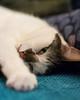 George (Martin-Fused) Tags: animal background blur cat domesticshorthair england eye fur george home pet sofa uk white yellow