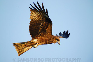 Digiscoped Black Kite, Hong Kong
