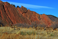 morning walk (czarmeg) Tags: deer roxborough redrocks colorado morning hike wildlife outdoors landscape walk muledeer