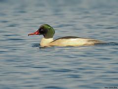 Goosander (Corine Bliek) Tags: mergusmerganser bird birds vogel vogels nature natuur wildlife trekvogels wintergasten winter migratory