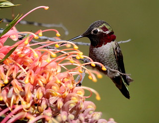 A male Anna's Hummingbird (Calypte anna) taking advantage of a convenient branch to save a little energy