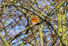 Robin (Claire Louise Beyga) Tags: robin bird sunday sundaymorningwalks 4218 february tree branch blue red breast dogwalks dogwalk outside outdoors winter adventure cold brisk chilly brown nikon dslr camera photo photography nature birds wildlife colourful spring sunshine day woods croxteth country park natur morning croxtethhallandcountrypark
