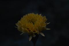 Yellow wild flower (knbhatt) Tags: yellow flower lowlight closeup nature wildflower darkbackground wildlife macroshot
