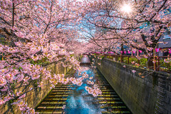 AKE_1190 2-1 (anekphoto) Tags: tokyo japan sakura blossom meguro cherry white canal beautiful river garden flower travel spring season tree view pink bloom scenery blooming blue sky tourism water floral new city festival park leisure asia asian seasonal landmark tourist famous place nakameguro japanese town stream concrete springtime waterway seaosn nature blossoms picnic lined
