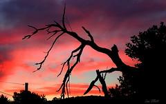 Happy SILHOUETTE Fence Friday (Lani Elliott) Tags: nature naturephotography lanielliott sunset sky skies cloud clouds silhouette silhouettes scene scenic view landscape tree red pink colouredsky color colour colourful bright light scenictasmania beautiful fantastic superb wonderful gorgeous