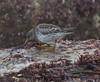 Purple Sandpiper (Calidris maritima) 3.2.2018 (2) (wildlifelover69) Tags: purplesandpiper calidrismaritima portlandbill isleofportland dorset 322018