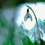 Perce-neige thumbnail