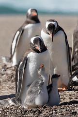 Gentoo Family (LanaScape Photos) Tags: typical alt penguins gentoo antarctica wildlife