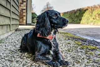 'Dog Basil' - Sprocker Spaniel.