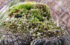 Look Closer (Rhubus) Tags: shroom gungus fungi small tiny micro macro close near green moss wood post pretty