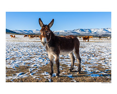Burrito (david Ramalleira) Tags: davidramalleiraphotography davidramalleira d700 nikon burro donkey animal portrait