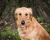 back yard portrait (fallsroad) Tags: rubye goldenretriever servicedog assistancedog seizureresponsedog dog canine portrait epilepsy