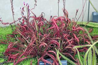 Drosera capensis L. (var. rubra) - Kew Gardens