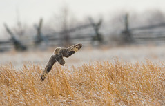 Short-Eared Owl (nikunj.m.patel) Tags: owls owl shortearedowl raptor nature wild wildlife outdoor nikon naturephotography