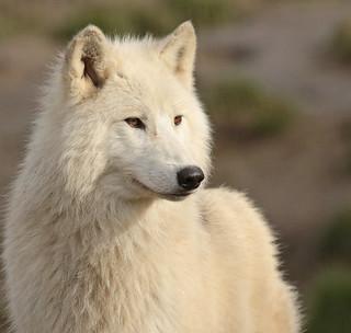 Hudsonbay wolf Hoenderdaell BB2A4467