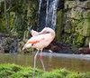 Flamingo (lesleydugmore) Tags: bird flamingo pink water waterfall green stone outside outdoors zoo dudleyzoo duley midlands uk england britain west—midland