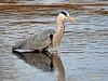 Garza real (Ardea cinerea) (24) (eb3alfmiguel) Tags: aves zancudas ciconiiformes ardeidae garza real ardea cinerea