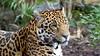 Napo the Jaguar (TERRY KEARNEY) Tags: napothejaguar jaguar cats cat trees tree animal canoneos1dmarkiv chester cheshire chesterzoo daylight day explore europe england flickr feline kearney nature oneterry outdoor portrait terrykearney wildlife 2018 grass
