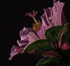 Back Lit Pink Hibiscus (Bill Gracey 17 Million Views) Tags: backlit backlighting hibiscus fleur flower flor blackbackground yongnuo yongnuorf603n offcameraflash lastoliteezbox softbox