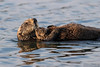 Sleepy Otters (tkfranzen) Tags: seaotter conservation iucnendangered elkhornslough mosslanding montereycounty california tnclivenature animalplanet