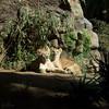 sisters | loro parque | puerto de la cruz (John FotoHouse) Tags: lion lioness 2018 puertodelacruz tenerife loroparque johnfotohouse johndolan flickr fujifilmx100s fuji dolan copyrightjdolan color colour square squareformat animals