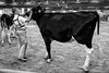 0698 & 6647 (-Dons) Tags: northcarolina raleigh unitedstates cow austin tx usa boy cattle fair statefair