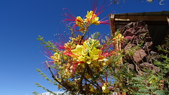 153 Blumen - flowers, in Socaire (roving_spirits) Tags: chile atacama atacamawüste atacamadesert desiertodeatacama désertcôtier küstenwüste desiertocostero coastaldesert