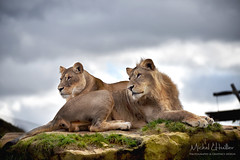 Bro n' sista (Michel L'HUILLIER (Asterix_93)) Tags: lion lioness siblings brother sister portrait feline mammal big one model beauty nikon d810